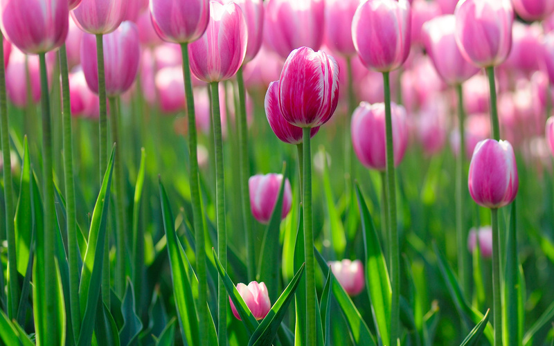 flowers bokeh, �����, ������, ������, flowers hd, ������, Tulips wallpapers