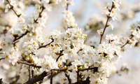 beautiful nature wallpapers, цветение, вишня, Cherry blossoms, white, flowe ...