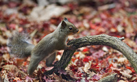 beautiful nature wallpapers, animal planet, autumn, Squirrel, desktop wallp ...