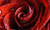 beautiful nature wallpapers, rose, роза, scarlet, Hd wallpapers, красная, r ...