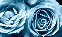 flowers, Frosty roses, beautiful nature wallpapers, цветы, blue rose, розы, ...