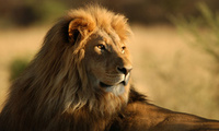 africa, lions, ����, wild cats, animals wallpapers, ����� �����, ��������,  ...