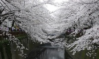 япония, park, spring, white, flowers, Japan, sakura, cherry blossoms