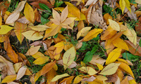 leaf, yellow, green, Autumn