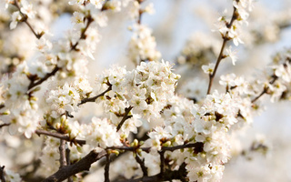 beautiful nature wallpapers, цветение, вишня, Cherry blossoms, white, flowers