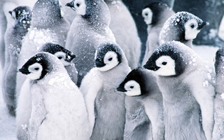 пингвины, снег, penguins, Baby