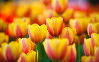 тюльпаны, tulips, flowers, yellow, желтые, Цветы, макро, macro