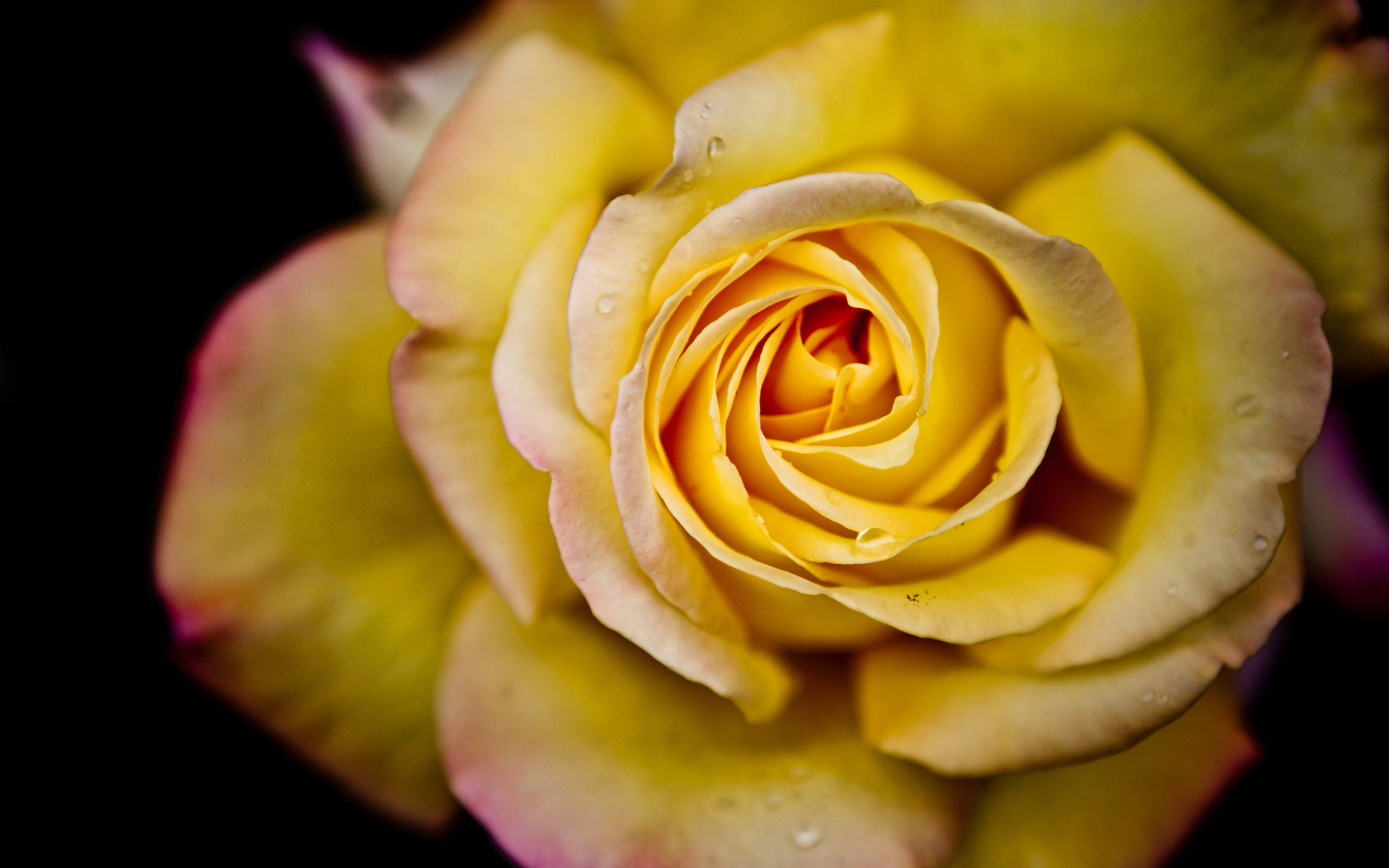 Wallpaper of yellow rose flowers